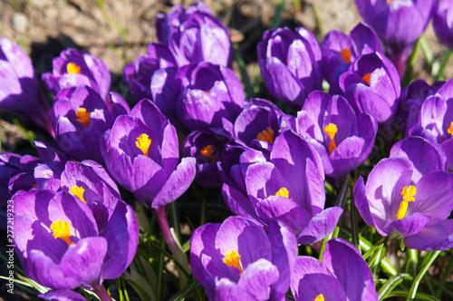 Crocus chrysanthus safran violet early flowers