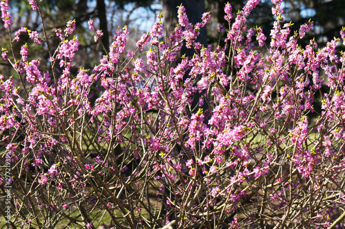 Canvas Print Daphne mezereum or february daphne or mezereon or spurge laurel pink spring flow