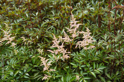 Fotografiet astilbe japonica or false goat's beard plant