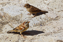 Two Sparrows On Cobbled Pavement