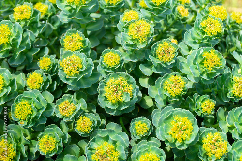 Poster Fleur Rhodiola rosea blossom by springtime at solar day