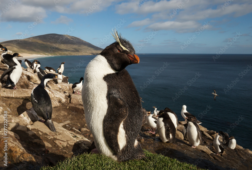 Close up of a Rockhopper penguin (Eudyptes chrysocome) standing in a group of penguins and Imperial Cormorants on a coastal area of Falkland Islands.