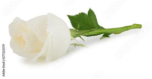 white rose flower isolated on white background Fototapeta