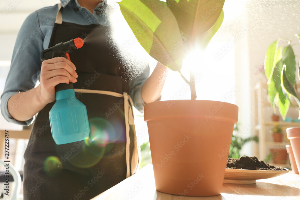 Fototapety, obrazy: Woman taking care of home plant indoors, closeup