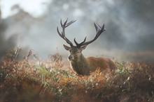 Red Deer Stag During Rutting S...