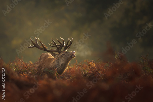 Photo sur Toile Cerf Red Deer stag during rutting season with breath condensing on a misty autumn morning
