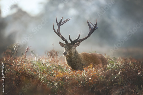 Poster Hert Red deer stag during rutting season on a foggy autumn morning