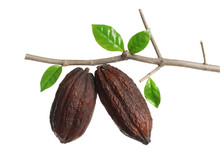 Branch With Cocoa Pods Against White Background