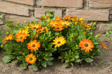 Osteospermum - Orange African ...