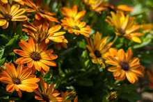 Osteospermum - Orange African Daisy