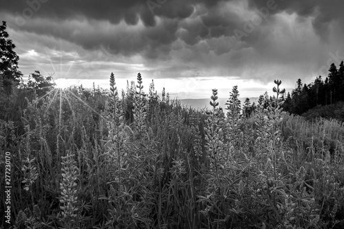 Fotografie, Obraz  Black and white sunburst wildflowers image in the Wasatch Mountains, Utah, USA