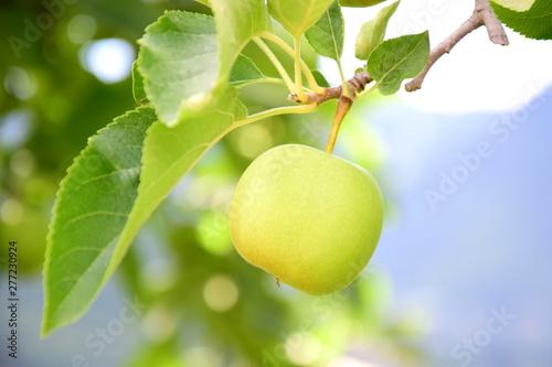 Gelber Apfel an einem Ast eines Apfelbaumes vor unscharfen Hintergrund Wallpaper Mural