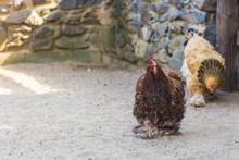 Bushy Rooster Brahma Walks Thr...