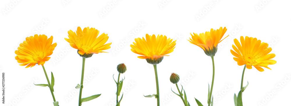 Fototapety, obrazy: Marigold flowers calendula officinalis isolated on white background. Blooming orange garden flowers.