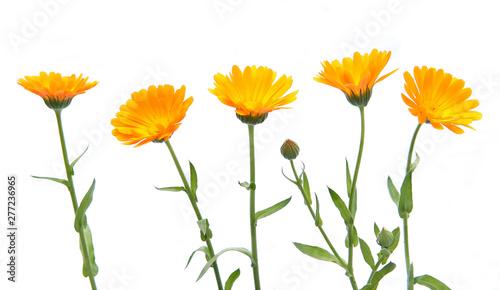 Obraz Marigold flowers calendula officinalis isolated on white background. Blooming orange garden flowers. - fototapety do salonu