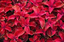 Bright Red Leaves Of Perennial Plant Coleus, Plectranthus Scutellarioides. Decorative Red Velvet Coleus Fairway Plants.
