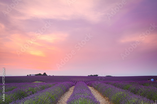 Foto auf Leinwand Rosa hell colorful fields of lavender at valensole plateau, France
