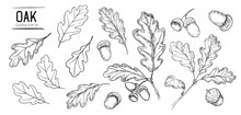 Set Of Oak Leaves And Acorns. Hand Drawn Illustration Converted To Vector