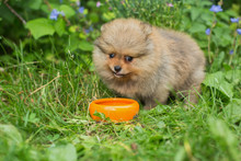 Little Spitz Puppy Eats  With The Orange Bowl