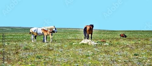 Fototapeta Beautiful herd horses field, great design for any purposes. Beautiful nature background. Beautiful countryside landscape. Green grass field background. Summer background. Freedom, beauty. obraz