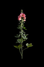 The Flower Of The Malva On A Black Background.