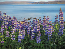 Lupins Growing Beside A Fjord Near Drangsnes In The Westfjords Of Iceland