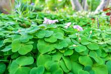 Bear Clover Leaves, Three-leaved Shamrocks. St. Patrick's Day Background
