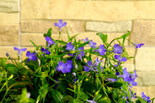 Blue Flowers Of Lobelia On Decorative Stone Background.