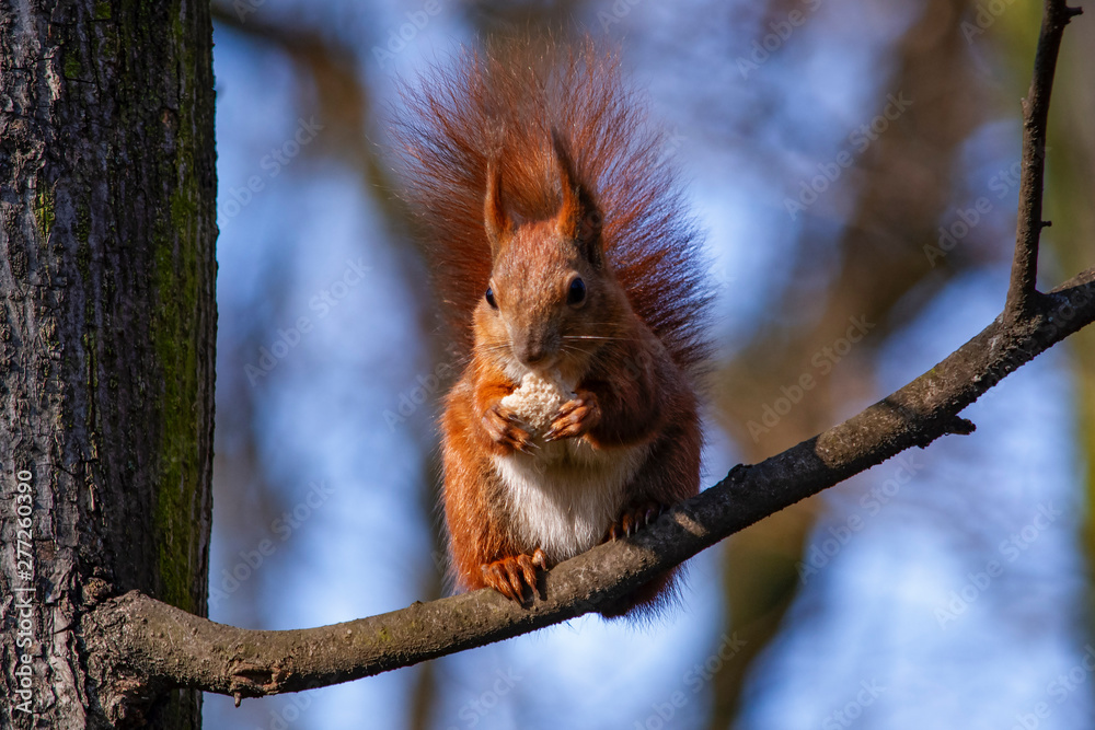 Fototapety, obrazy: wiewiórka zajada chleb na gałęzi
