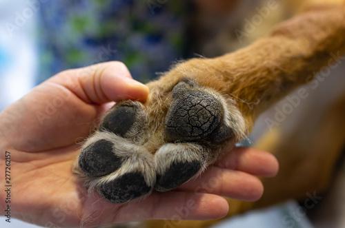 Obraz Veterinarian showing the paw of a german shepherd - fototapety do salonu
