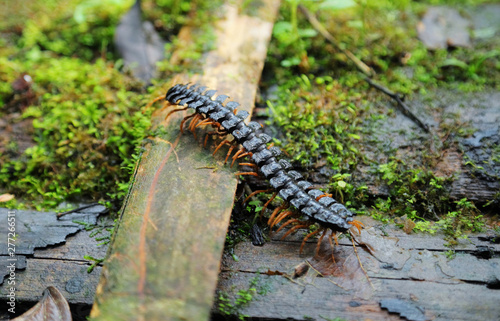 Canvas Giant centipede in amazon rain forest