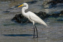 Great Egret On Beach