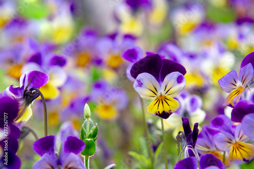 Papiers peints Pansies group of perennial yellow-violet Viola cornuta, known as horned pansy or horned violet