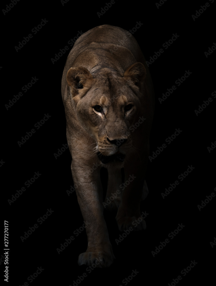 Fototapety, obrazy: female lion walking in dark background