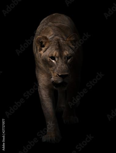 Photo Stands Amsterdam female lion walking in dark background