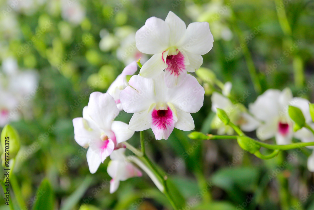 Fototapety, obrazy: beautiful orchid flower in garden