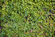 Wall Covered By Ivy (Hedera Helix). Ivy Texture, Hedge Background, Backdrop Or Wallpaper. Green Vertical Garden Wall. Green Plant Texture. Green Leaves Background.