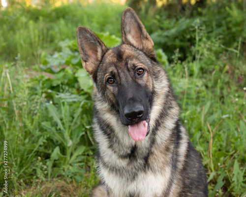 Fotomural Sable German shepherd dog outdoors in the day in summer