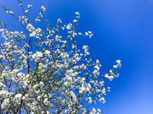 Cherry Garden Blooming Against Blue Sky.