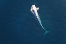 A Blue Whale Blows As It Surfa...