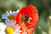 A Bumblebee Sits On A Poppy On...
