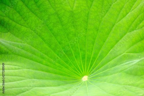 Montage in der Fensternische Lotosblume lotus leaf