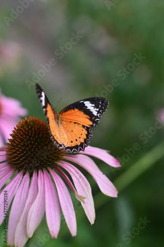 Orange Butterfly on purple fl;ower