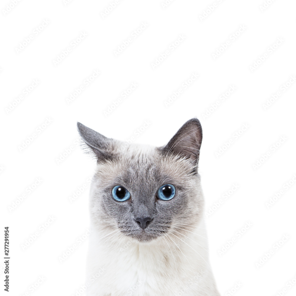 Fototapety, obrazy: Blue-point colored thai cat portrait with copy space.