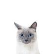 Blue-point colored thai cat portrait with copy space.
