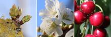 Wachstum Einer Kirsche Von Der Knospe über Die Blüte Bis Zur Erntereifen Frucht Am Baum