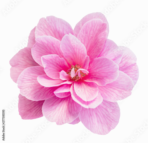 Fotografie, Tablou Pink Camellia tree blossom isolated on white
