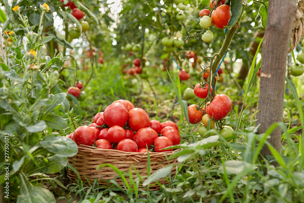 Fototapety, obrazy: Tomatoes in a basket in the garden