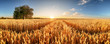 Leinwandbild Motiv Wheat flied panorama with tree at sunset, rural countryside - Agriculture