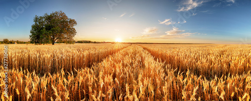 Fotografia  Wheat flied panorama with tree at sunset, rural countryside - Agriculture